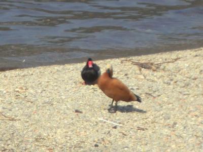 コモ湖の水鳥