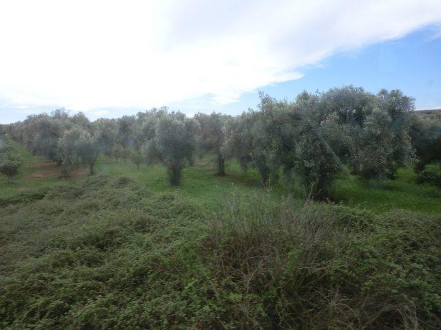 プーリア州のオリーブ畑